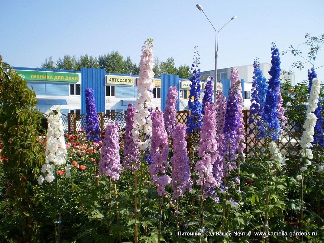фото цветов дельфиниум: