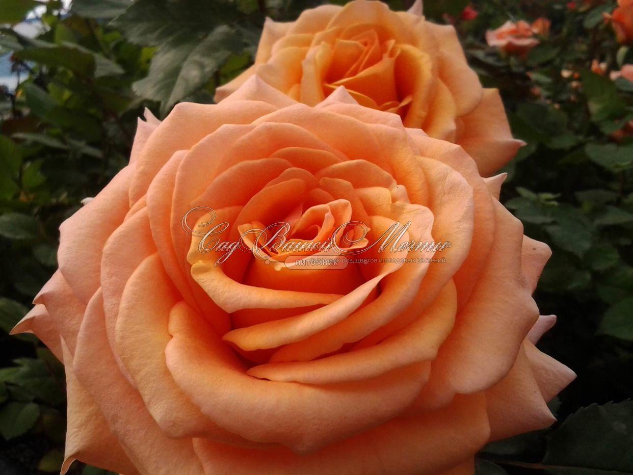 Роза магия и описание и уход