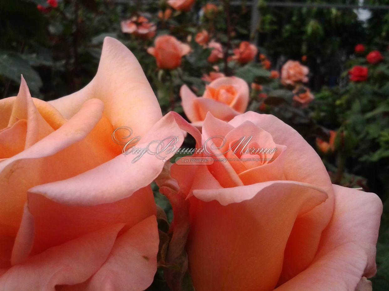 Роза эльдорадо фото 6