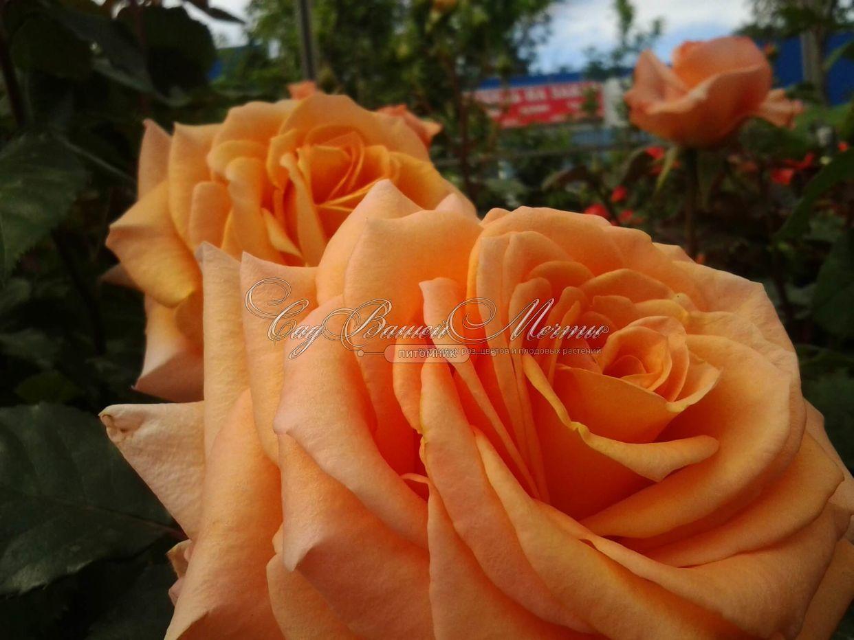 Роза эльдорадо фото 5