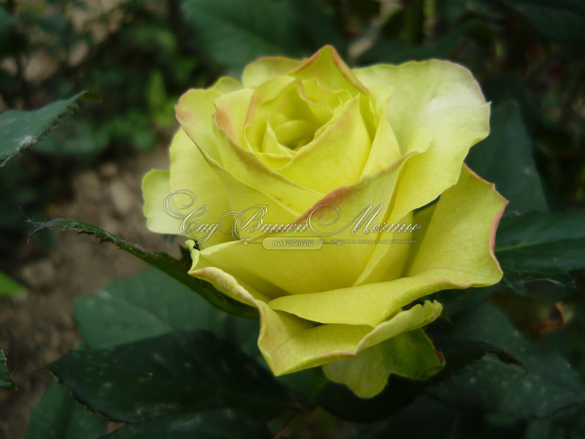 Роза супер грин фото 2