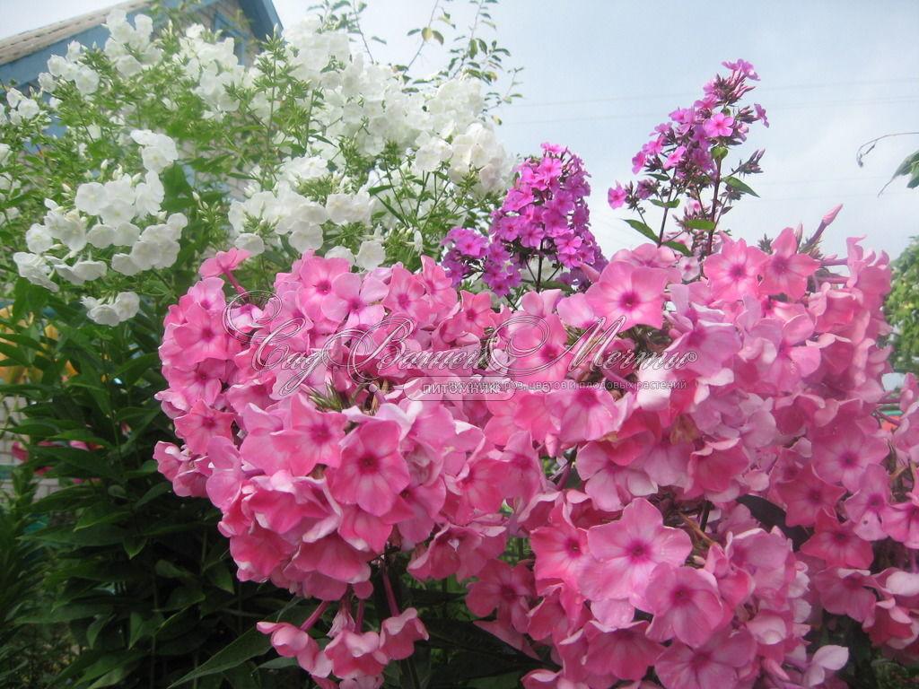 Уход за флоксами при цветении