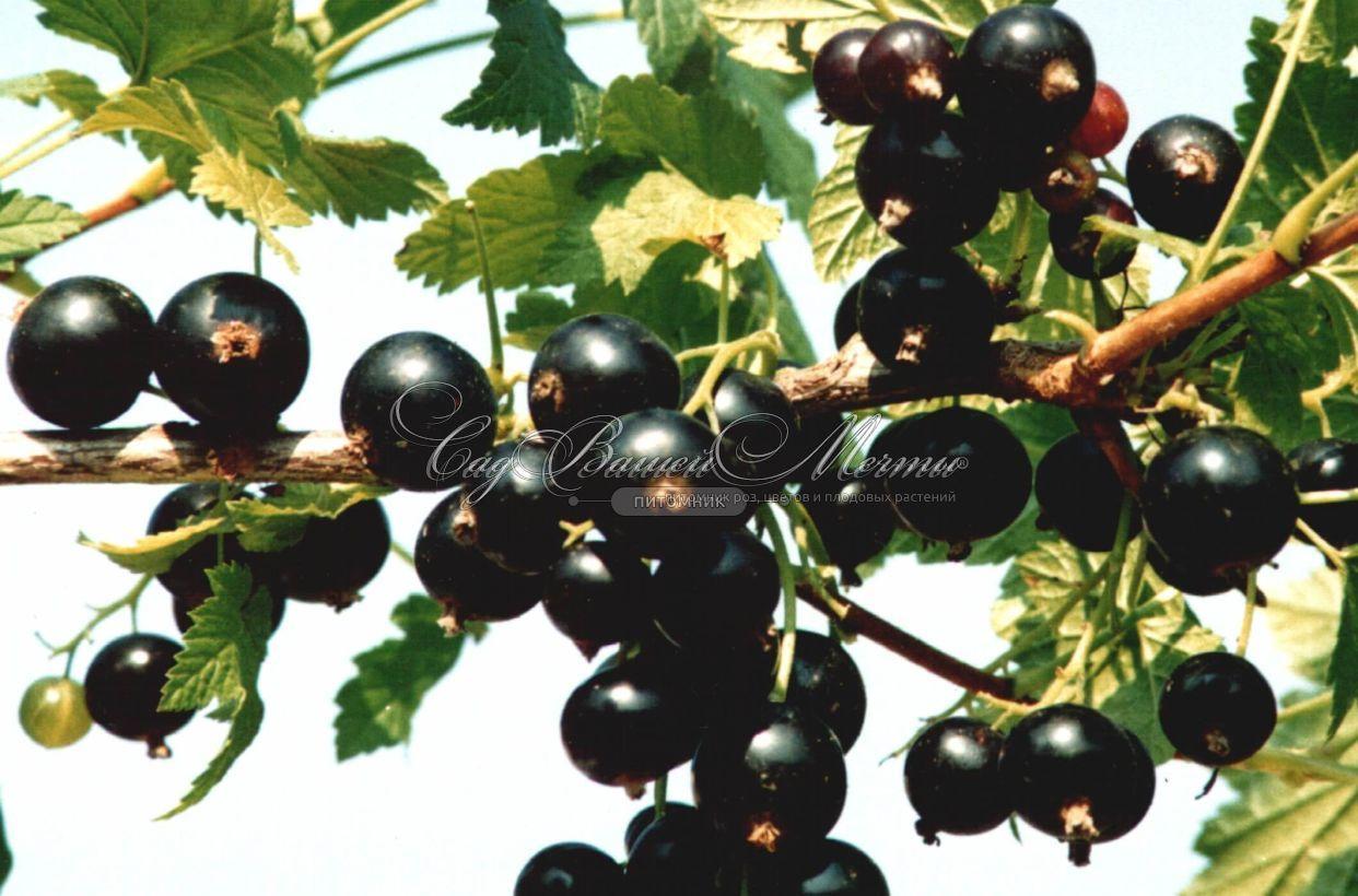 """Черная смородина """"Белорусская сладкая"""" - Смородина черная - купить саженцы черной смородины в питомнике"""