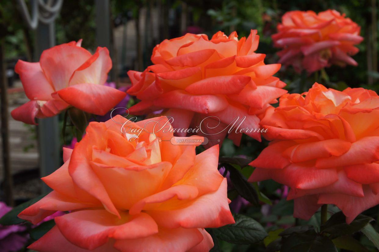 Самые зимостойкие розы купить недорого цветик-семицветик доставка цветов г.елец