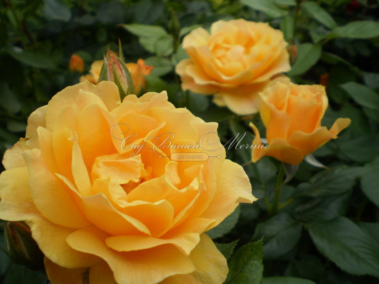 Саженцы роз питомника подмосковье