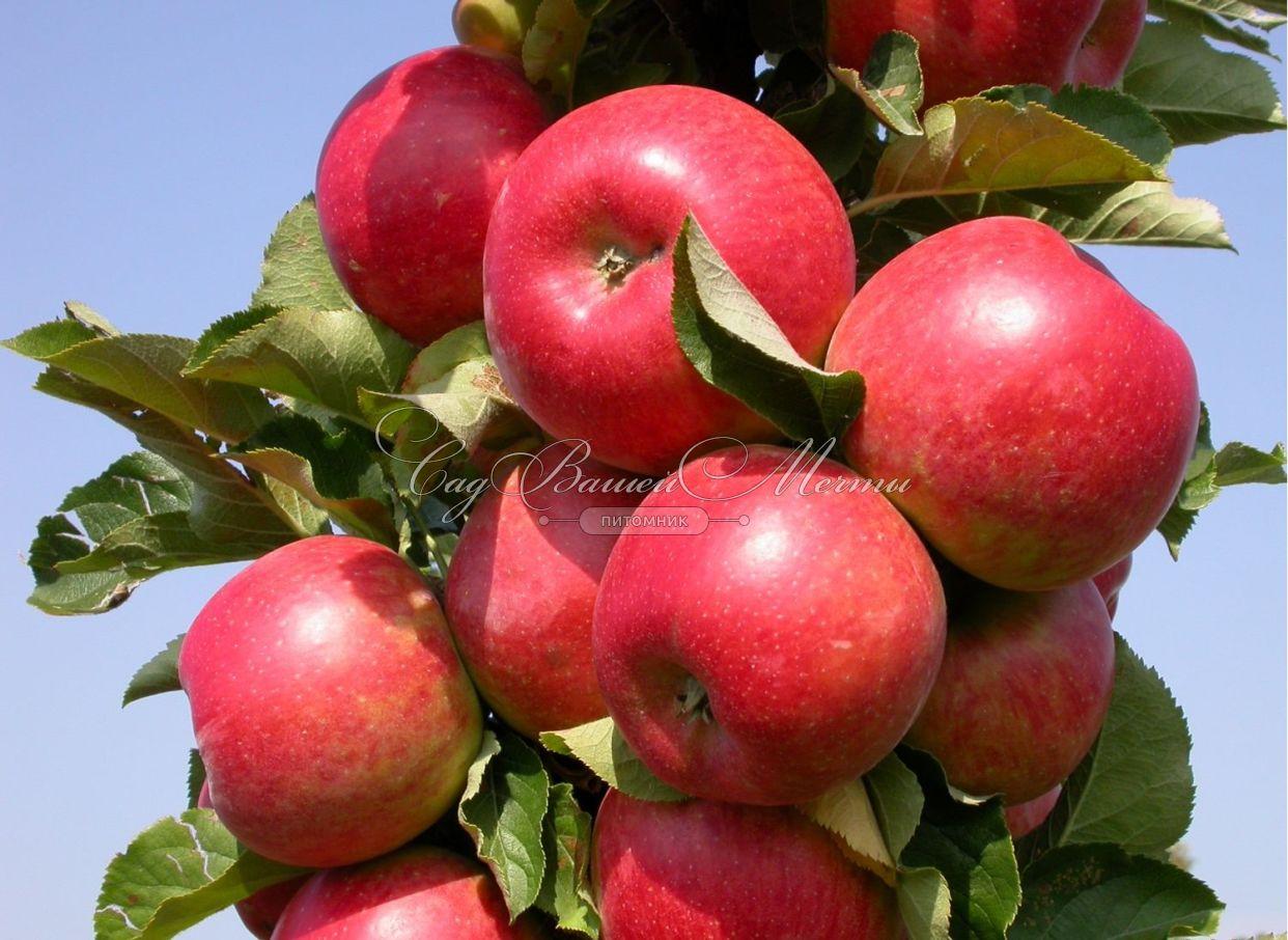 колоновидная яблоня фото арбат
