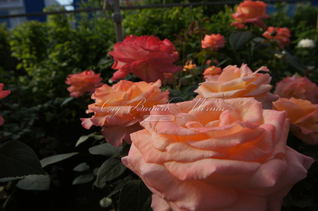 Аккорды пять красных роз