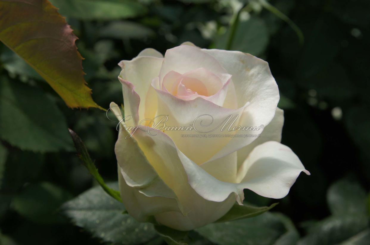Картинки по запросу роза флорибунда претти герл