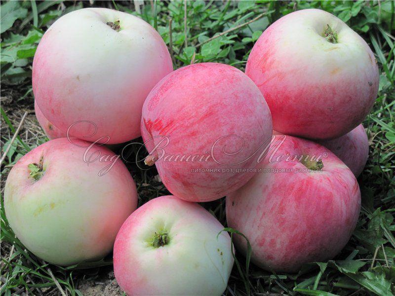 фото яблок белый налив