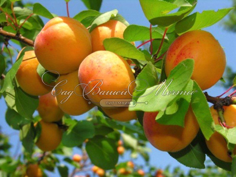 Абрикос или персик при диабете