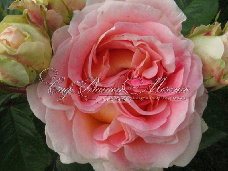 Купить плетистую розу авито