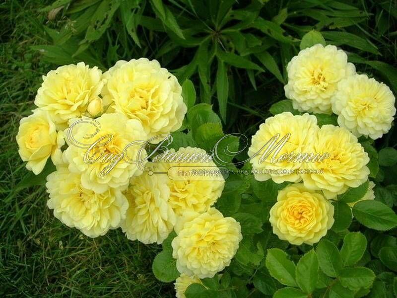 Роза анни дюпрей описание фото отзывы