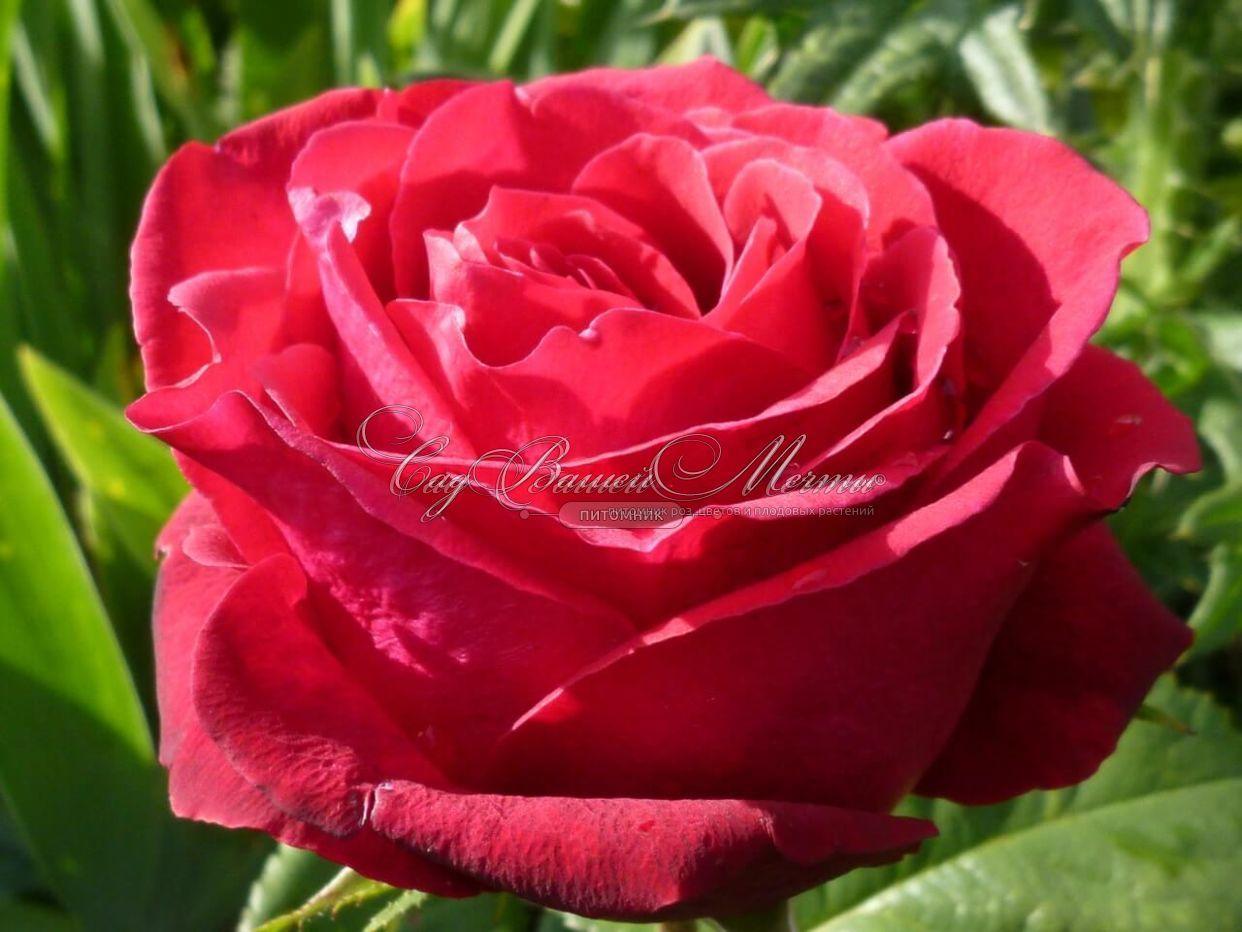 Роза гранд гала фото и описание