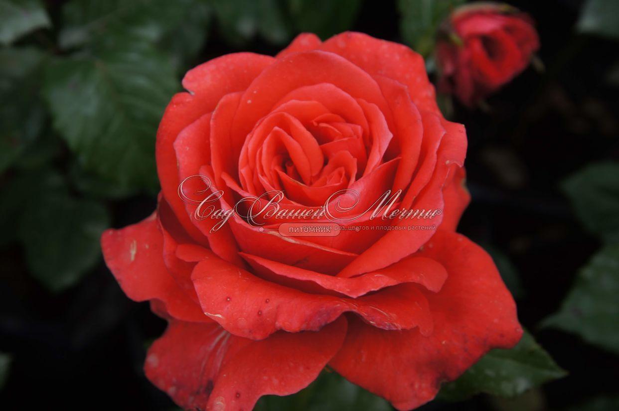 Роза маниту фото и описание