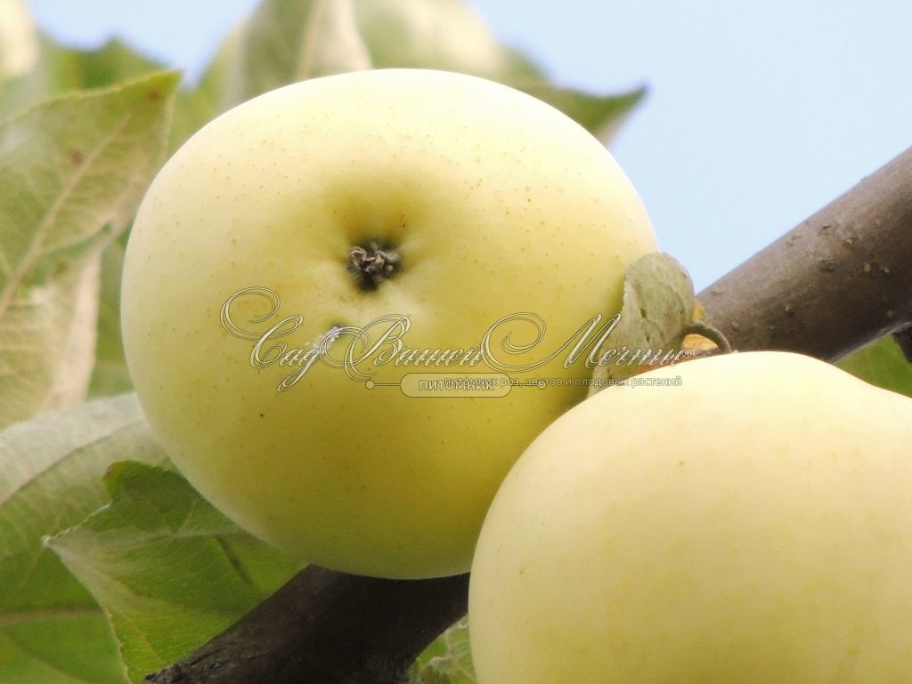 грушовка яблоня описание фото