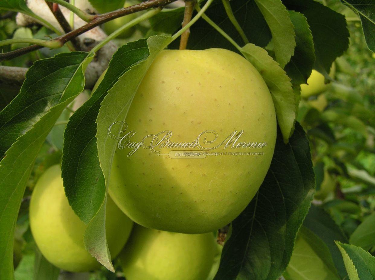 основе дерева яблоня золотой ранет описание фото стенку
