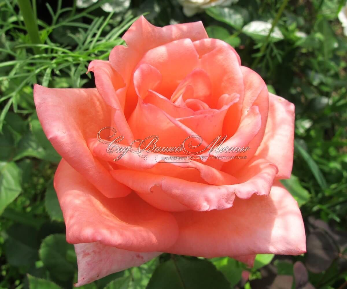 Роза дольче вита фото