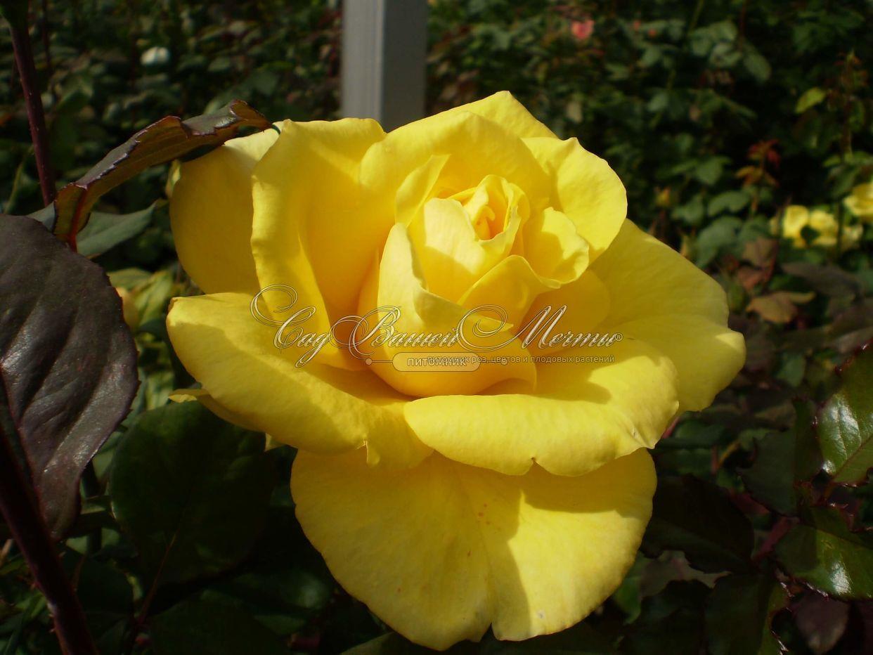 Роза голден медальон фото и описание
