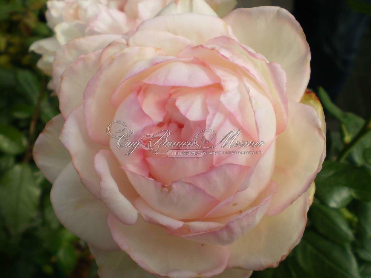 Фото роза оноре де бальзак