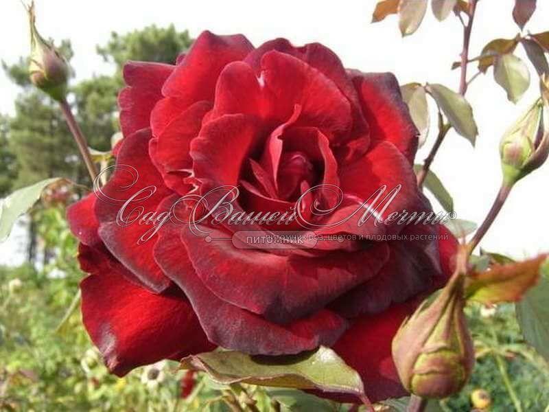 Роза madame delbard Мадам Дел�ба� � к�пи�� �ажен�� �оз в