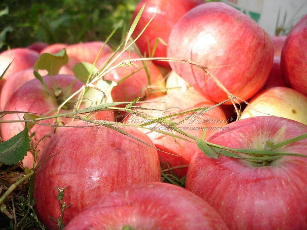 яблоня августа фото описание