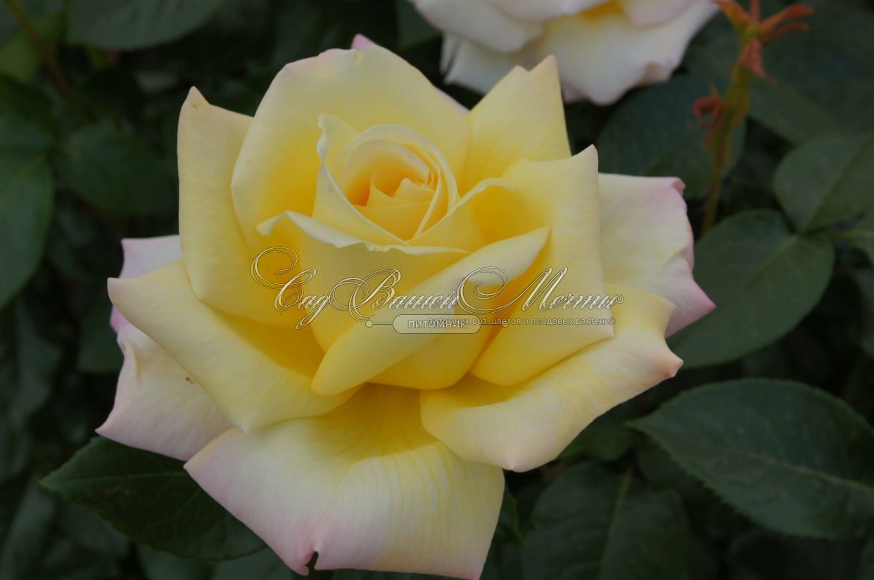 Купить розу peace