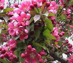 Яблоня розовая сказка описание фото