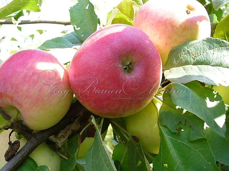 Яблоня башкирский красавец описание
