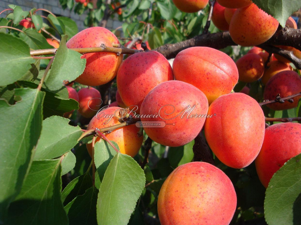 Выращивание абрикоса в тамбове 9