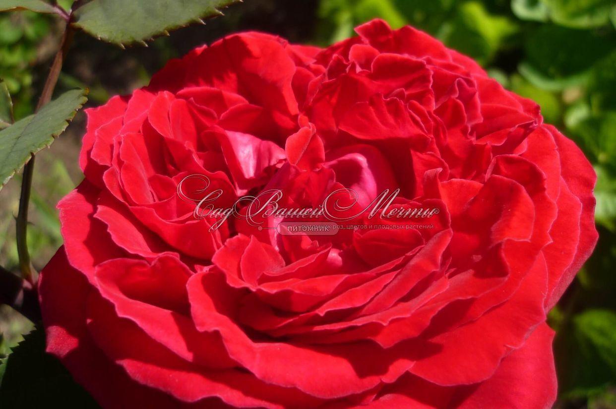 Розы ботеро купить