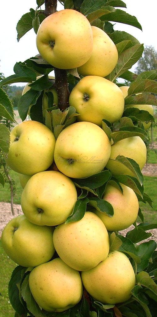 Где купить саженцы яблони в подмосковье